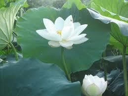 白莲玫瑰喇叭花1